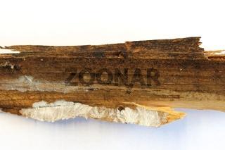 Holz mit Hausschwammbefall