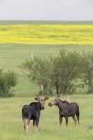 Prairie Moose Canada