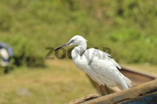 Reiher auf Boot am Viktoriasee