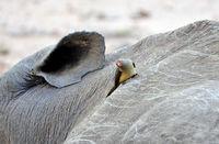 Madenhackers Pflege am weißen Nashorn