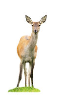 Red deer hind standing on grass cut out on blank.