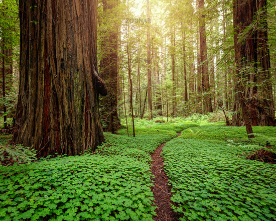 Redwood Forest at Sunrise. Northern California, USA.