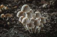 Small mushrooms toadstools. Psilocybin mushrooms on dark background