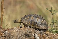 Leopard Tortoise, Stigmochelys pardalis, only member of the genus Stigmochelys, Maasai Mara National Reserve, Africa