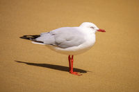 beautiful seagull at the sandy beach