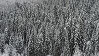 Verschneite Fichten in einem Wald an einem grauen Wintertag, Alta Badia, Dolomiten, Italien
