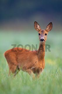 Wild roe deer doe walking through a hay field on early summer morning.