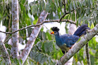 Riesenturaco im Bugoma Central Forest Reserve in Uganda (Corythaeola cristata) | great blue turaco at Bugoma Central Forest Reserve in Uganda (Corythaeola cristata)