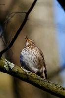 singende Drossel in einem Wald im Frühling