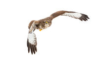 Common buzzard flying in the air isolated on white background.