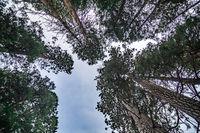 treetops of evergreen trees in yosemite in autumn