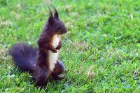 Neugieriges Eichhörnchen, squirrel, sciurus vulgaris