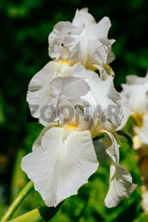 White iris flowers in the summer garden