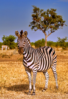 Steppenzebra, Südafrika, Kruger Nationalpark, South Africa, Plains Zebra