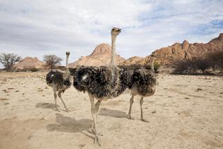 Suedafrikanischer Strauss, Namibia