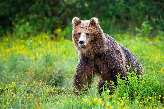 Dangerous brown bear approaching while protecting territory in nature