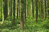 Efeu klettert Fichtenbäume empor
