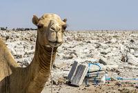 Traditioneller Abbau von Salz am Assale Salzsee. Dromedar wartet auf die Beladung mit Salzplatten für den Transport zum Markt