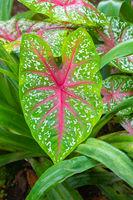 Costa Rica Caladium bicolor plant