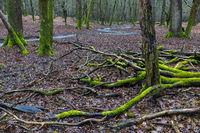Waldbach in einem Mischwald  / Schierenwald  -  Kreis Steinburg
