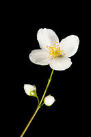 Stem with one blossom and two buds of philadelphus coronarius