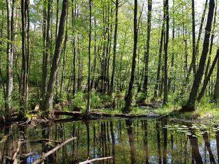 Erlenbruchwald im Briesetal nördlich von Berlin im Frühling