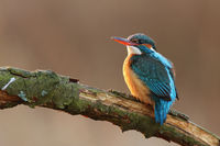 Beautiful sunkissed female of common kingfisher perched on the twig above river