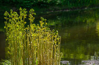 Shoots of a young fern on the shore of a pond in a public park
