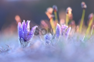 Hairy greater pasque flower flourish in spring sunlit nature with copy space