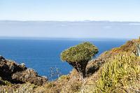 Landschaft auf La Palma mit Drachenbaum, Kanarische Inseln, Spanien