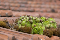 Dach-Hauswurz (Sempervivum tectorum)