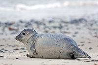 Seehund an einem Sandstrand