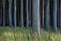 Küstenwald an der Ostsee bei Nienhagen