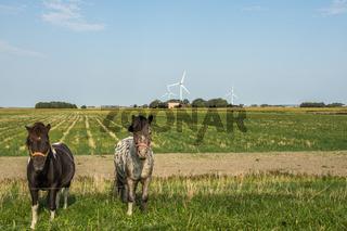 Zwei Pferde auf einer Wiese in ländlicher Umgebung in Nordstrand, Schleswig-Holstein, Deutschland