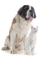 Saint Bernard and cat