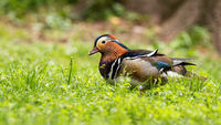Male mandarin duck walking on green grass in summertime with copy space.