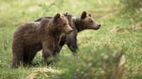 Two cute brown bear cubs walking on a meadow with green grass in spring