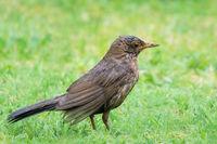 Female blackbird in the rain