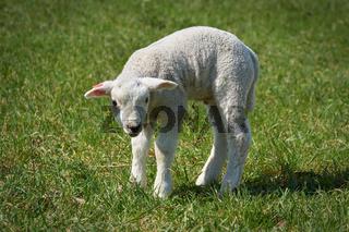 neugeborenes junges Lamm auf einer Wiese