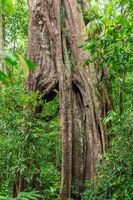 Große Birkenfeige im Gunung Leuser Nationalpark auf der Insel Sumatra in Indonesien