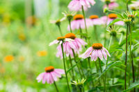 Echinacea purpurea in garden. Healing plant used for medical purposes in pharmaceutical industry.