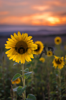 Sunflower field in Germany during sunset