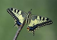 Schwalbenschwanz Schmetterling (Papilio machaon)