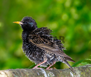 Closeup of a black starling bird