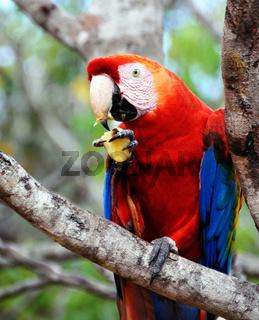 Papagei im Amazonasgebiet von Brasilien, Manaus