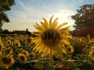 Sonnenblume im Sonnenlicht
