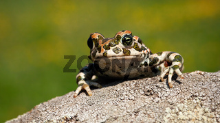 Cute european green toad peeking out with legs and fingers on the branch.