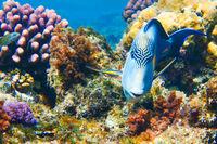 Arabischer Doktorfisch im roten Meer
