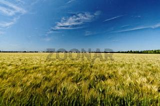 Blick über ein sommerliches Kornfeld auf eine Neubausiedlung am Horizont