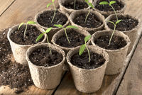 Tomato seedlings in paper pots